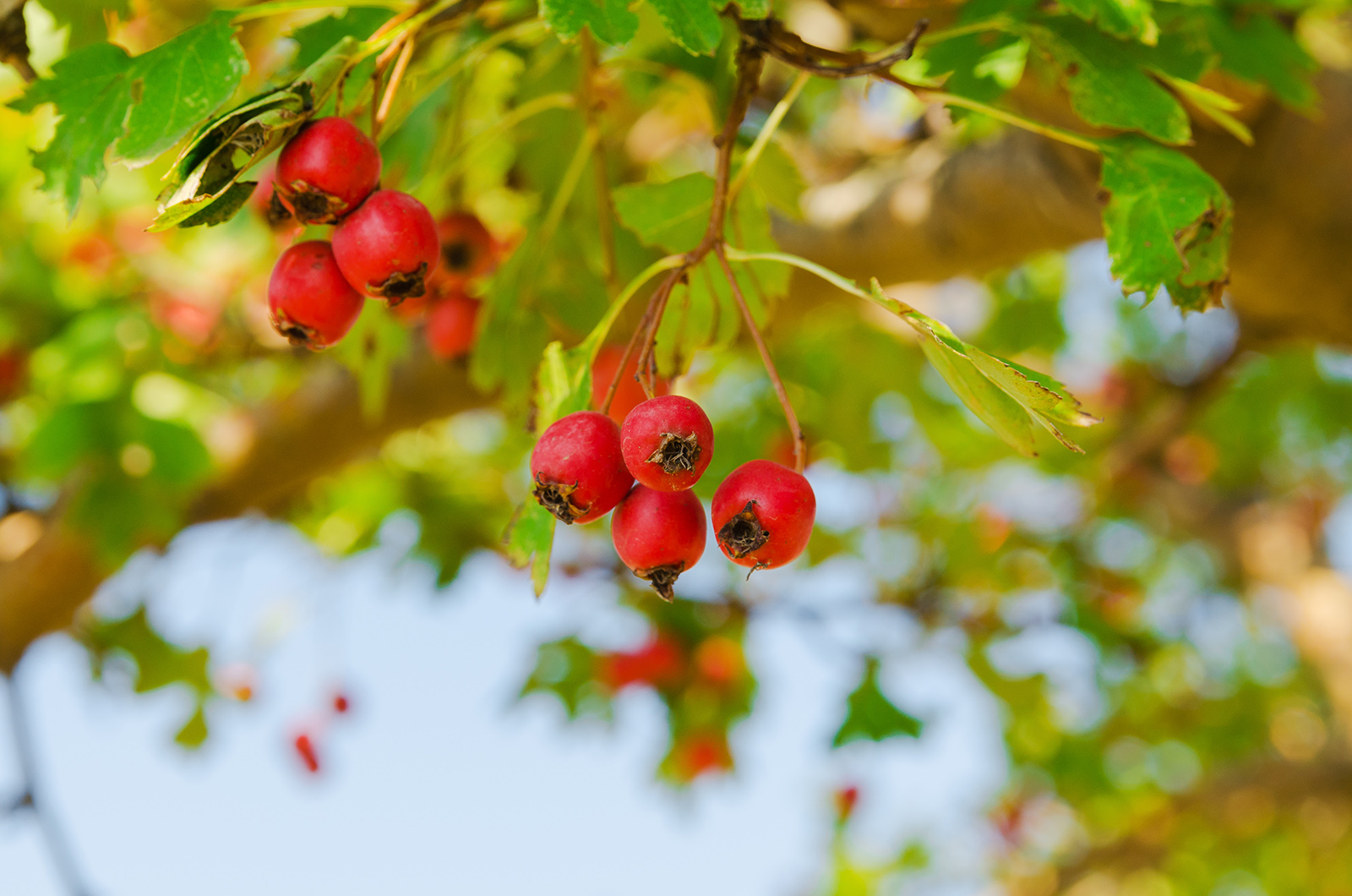 red vitaminic healthy berry on a branch. mature food