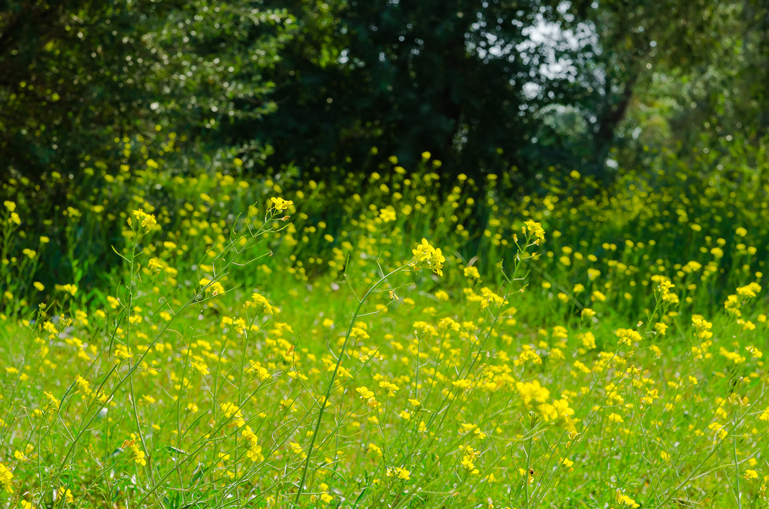 Meadow of yellow flowers with gossamer. Beauty nature background