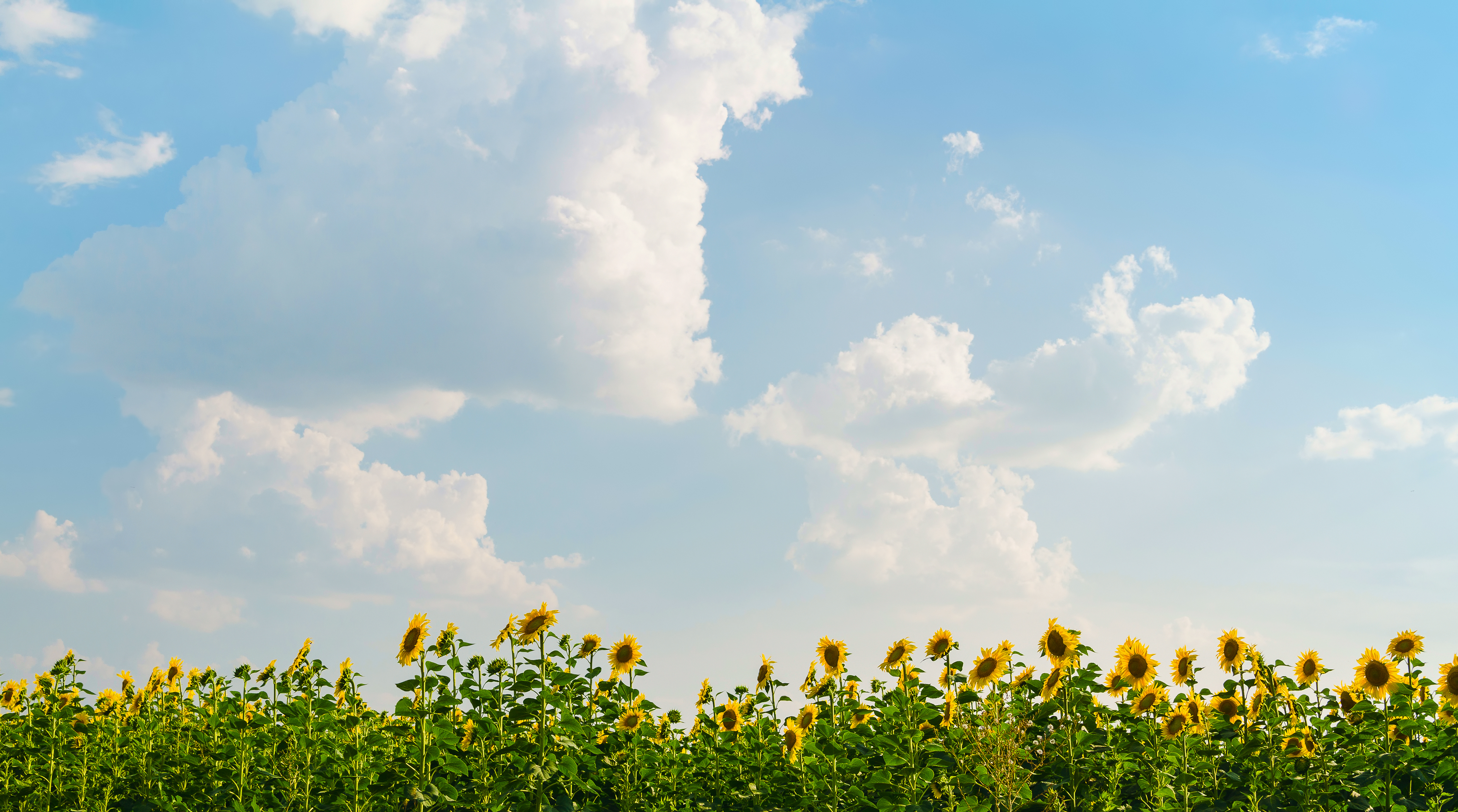 sunflower field on blue sky backgrounds